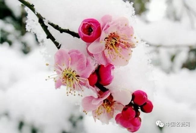 梅与雪之歌